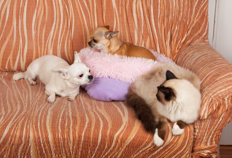 两条奇瓦瓦狗狗和封印点Birman猫在沙发说谎 免版税库存图片