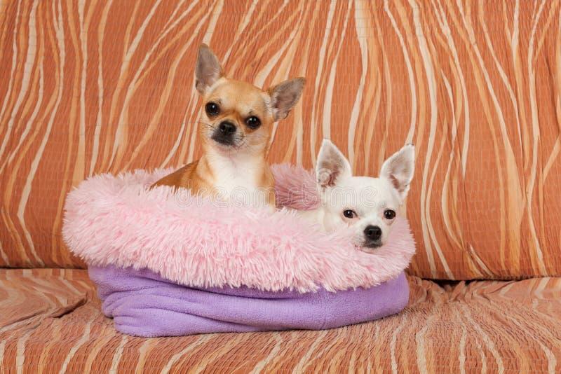 两条奇瓦瓦狗狗在从空心纤维的软的狗床上说谎在沙发 免版税库存图片