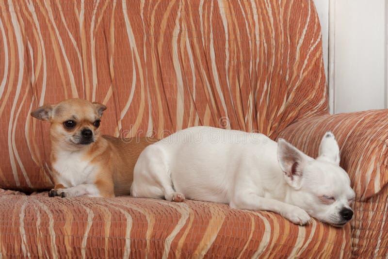 两条奇瓦瓦狗狗在沙发、2,5岁桂香女性和5岁说谎白女性 免版税库存照片