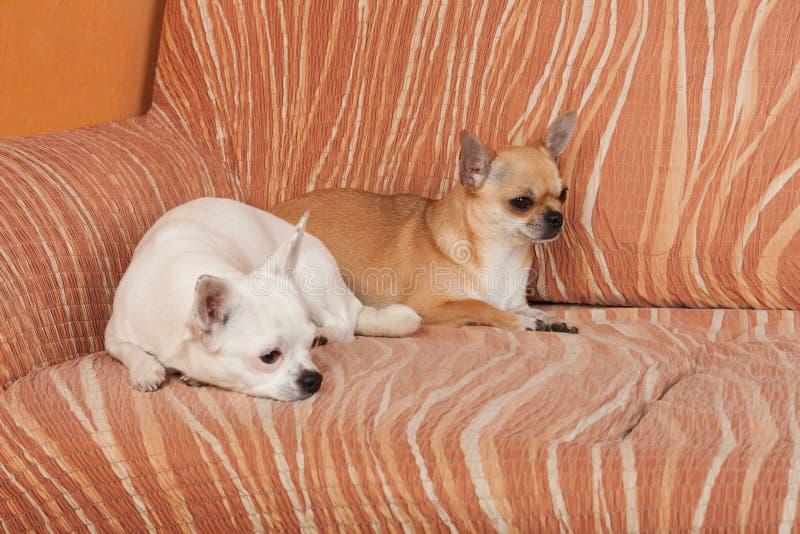 两条奇瓦瓦狗狗在沙发、2,5岁桂香女性和5岁说谎白女性 免版税库存图片