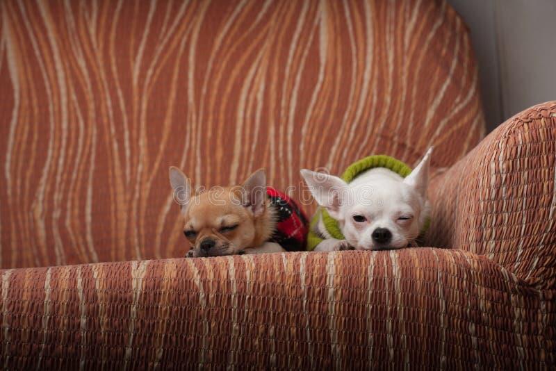 两条奇瓦瓦狗狗穿戴了与基于沙发的套头衫 免版税库存图片