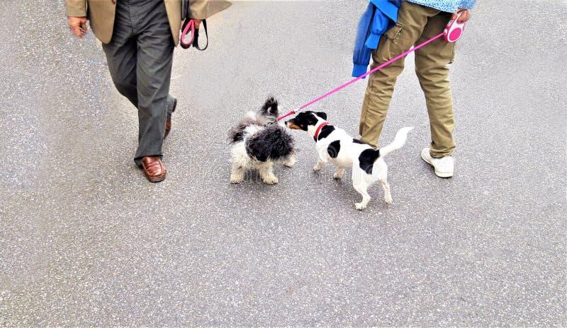 两条小狗滑稽的步行 图库摄影