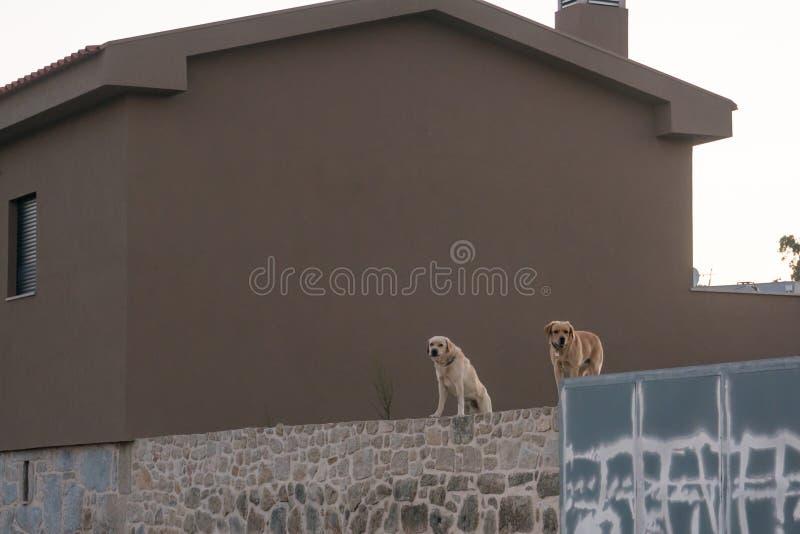 两条拉布拉多狗在墙壁上站立,守卫房子 免版税库存照片