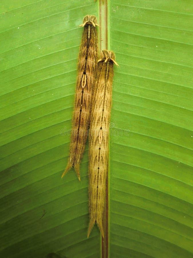 两条毛虫避难在一片绿色叶子背面在温室 免版税库存图片