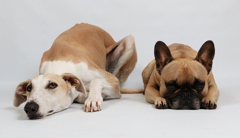 两条滑稽的狗在演播室 免版税库存照片