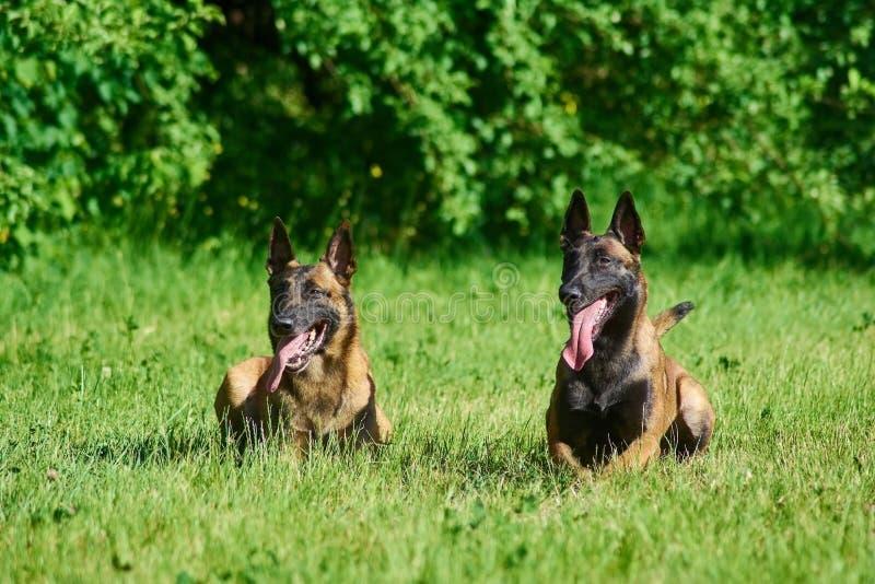 两条狗在草说谎 库存照片