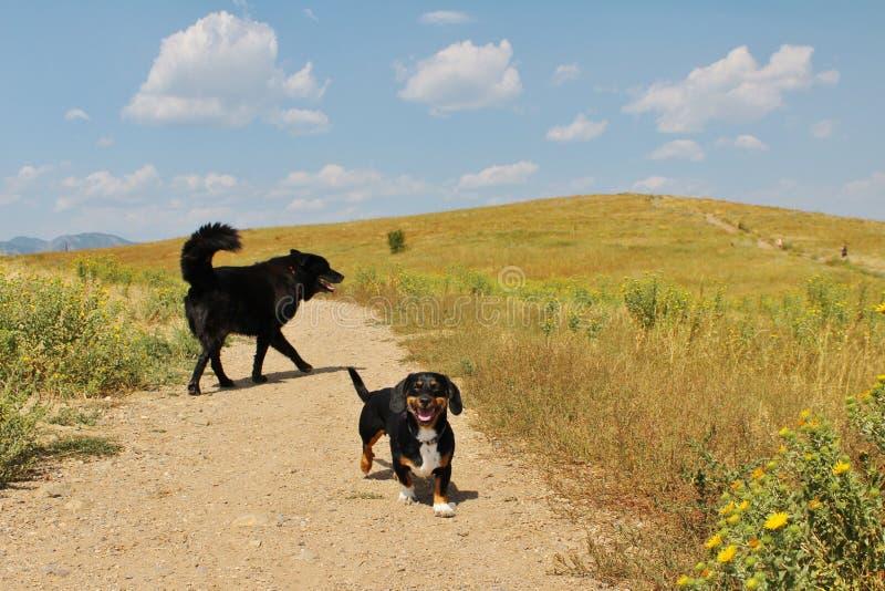 两条狗戏剧在科罗拉多大草原在一个晴天 免版税库存照片