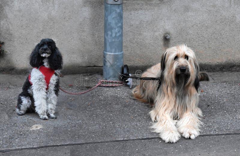 两条狗,被栓对灯岗位,等待他们的所有者 免版税库存照片