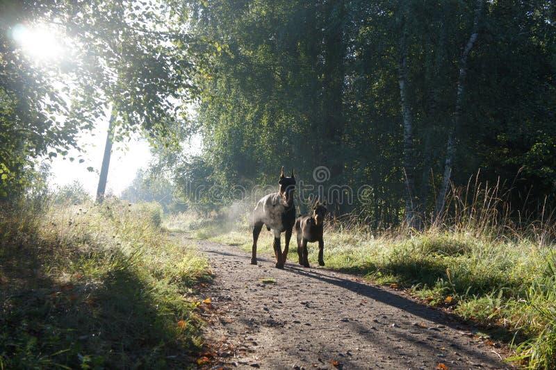 两条狗-父亲和儿子-朝阳的光芒! 库存照片
