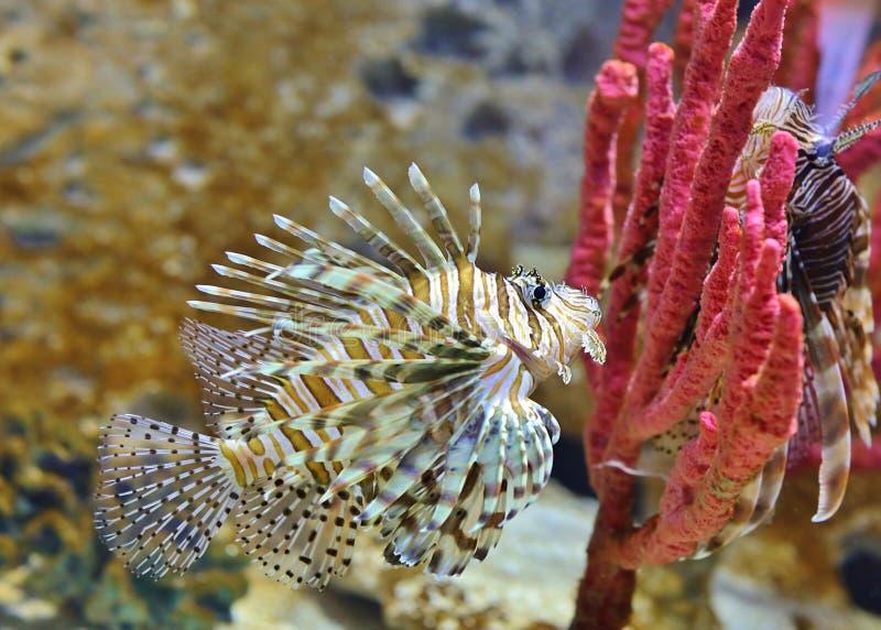 两条狮子鱼-水下由珊瑚 库存图片