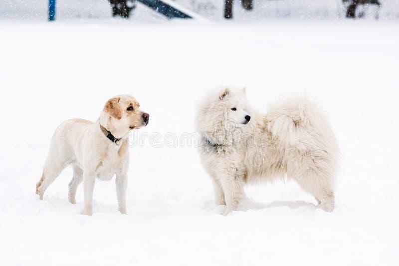 两条纯血统萨莫耶特人狗和拉布拉多猎犬 库存照片