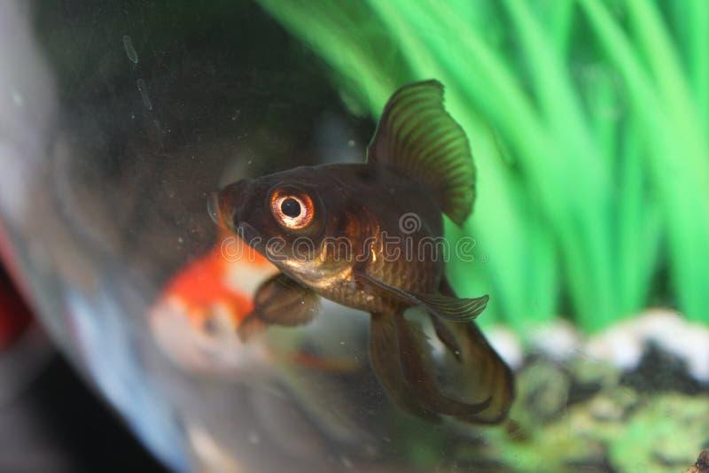 两条美好的鱼游泳 免版税库存图片