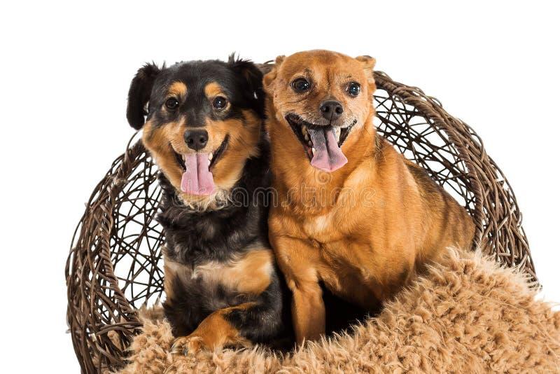 两条被混合的品种抢救狗摆在 免版税图库摄影