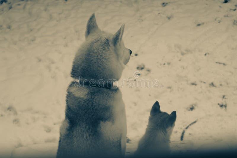 两条西伯利亚爱斯基摩人狗黑白特写镜头的画象 库存照片