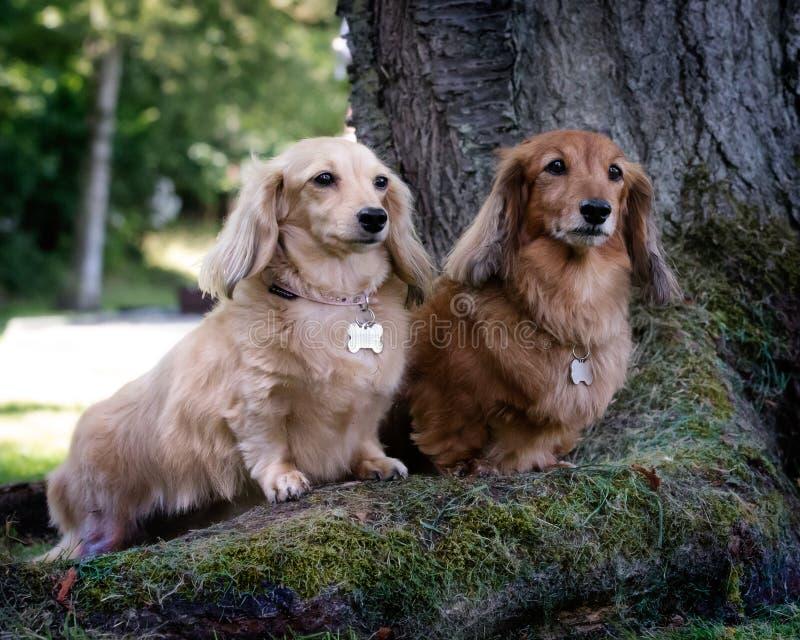 两条达克斯猎犬狗 库存照片