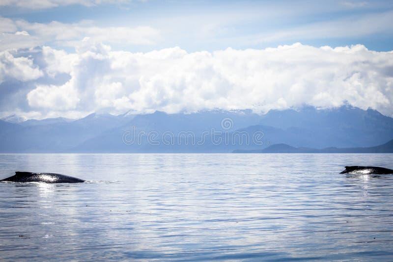 两条驼背鲸在阿拉斯加 免版税库存图片