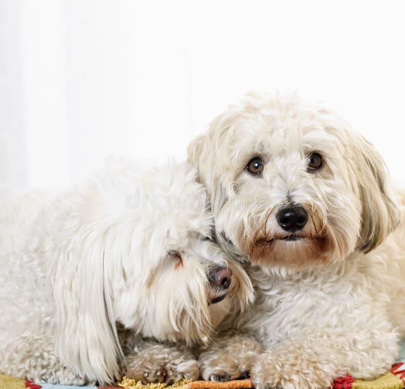 两条coton de tulear狗 库存照片