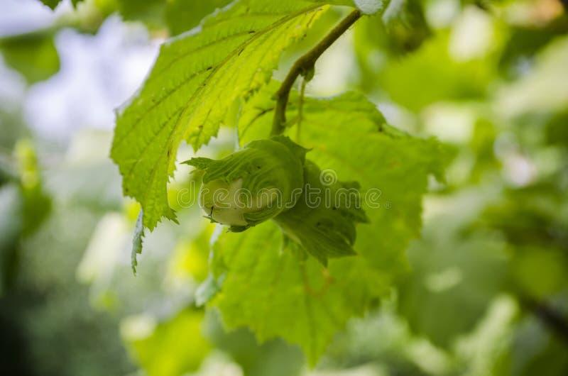 两枚绿色坚果成熟在树枝的,未成熟的榛树,欧洲榛,被弄脏的bokeh背景 免版税库存图片