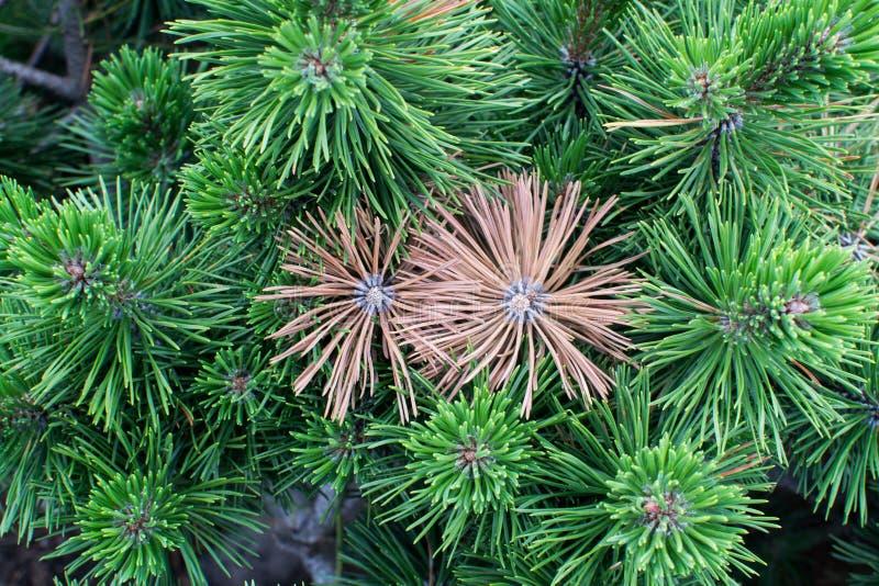 两染黄了在绿色特写镜头中的云杉的枝杈 免版税图库摄影