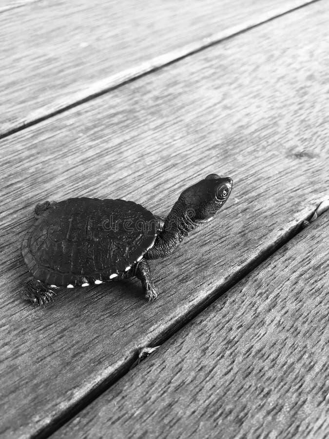 两栖动物背景黑色生物动物区系灰色爬行动物缓慢的乌龟白色 免版税库存图片