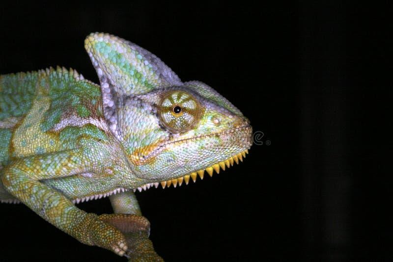 两栖变色蜥蜴爬行动物 免版税图库摄影