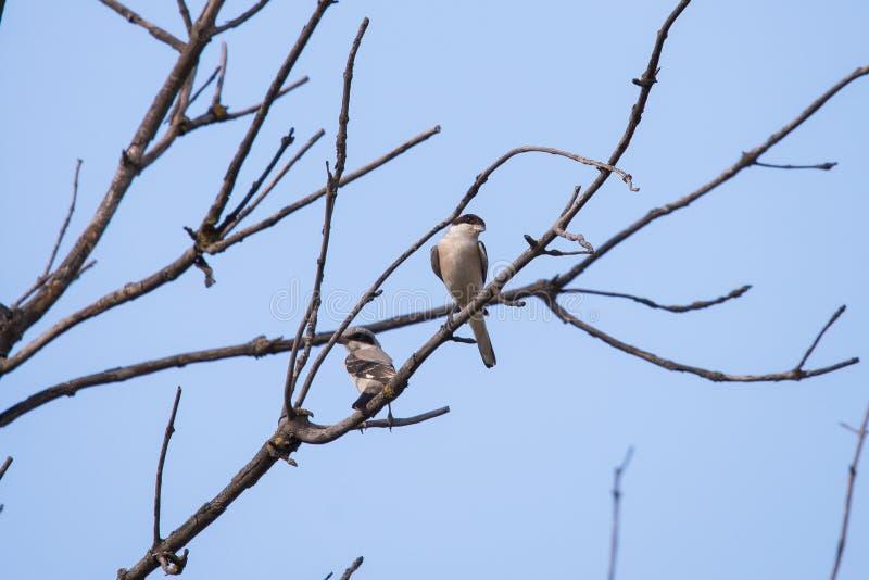 两栖息在树枝的灰色shrike或拉尼厄斯excubitor 免版税库存照片