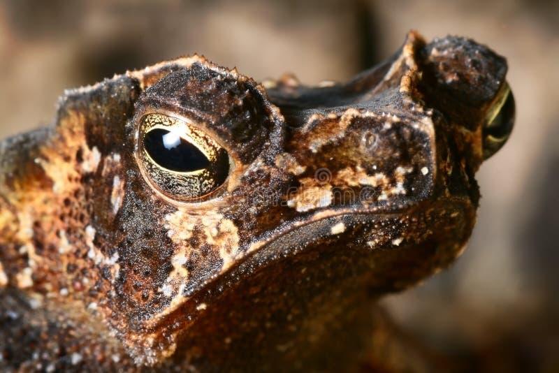 两栖热带动物有顶饰眼睛的蟾蜍 库存照片