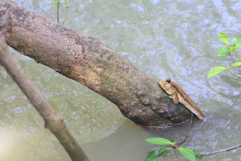 两栖鱼在泰国 免版税图库摄影