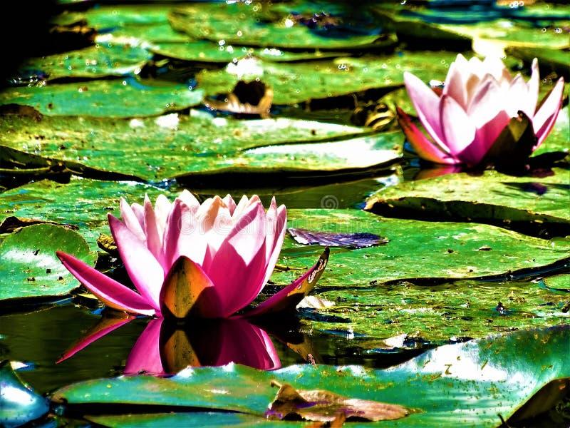 两桃红色和浪端的白色泡沫百合在湖开花 库存照片