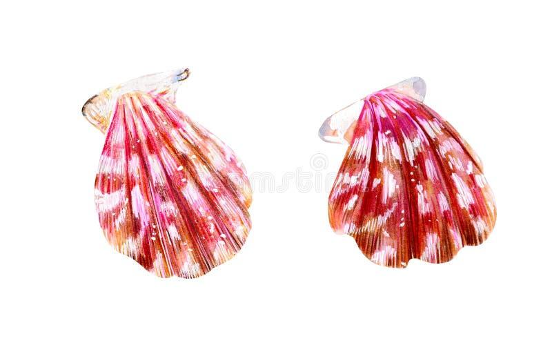 两桃红色真珠色的壳扇贝 库存例证