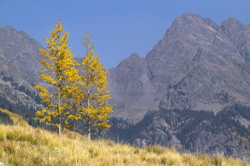 两棵偏僻的金黄黄色秋天亚斯本树在落矶山 库存照片