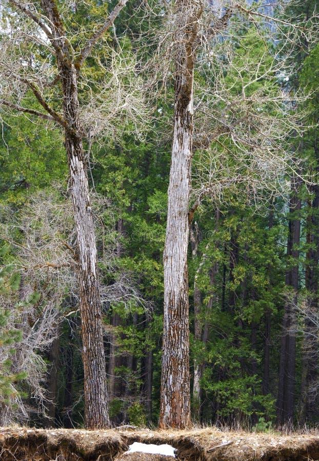 两棵光秃的树在尤塞米提谷 库存照片