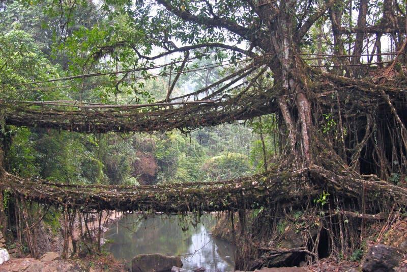 两棵印度榕树无花果树桥梁在印度 免版税库存图片