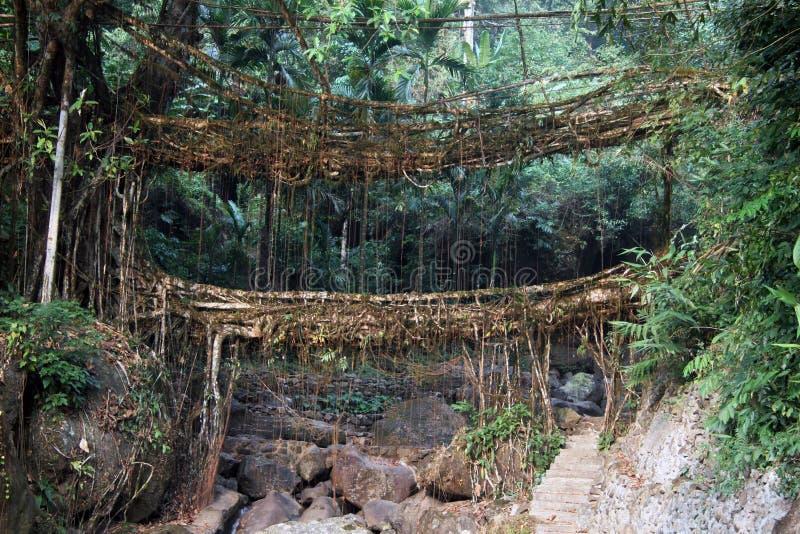 两棵印度榕树无花果树桥梁在印度 库存照片
