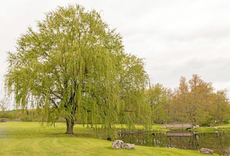 两棵垂柳树 免版税库存图片