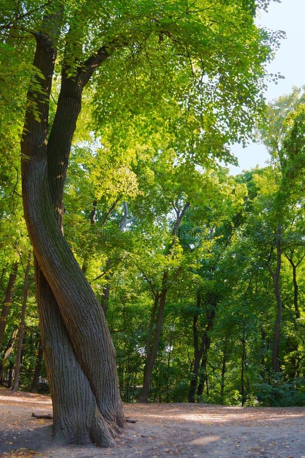 两棵树交错象舞蹈的人 图库摄影