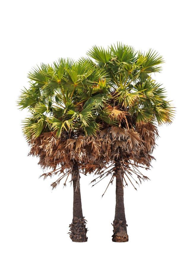 两棵树头梭flabellifer树 免版税图库摄影