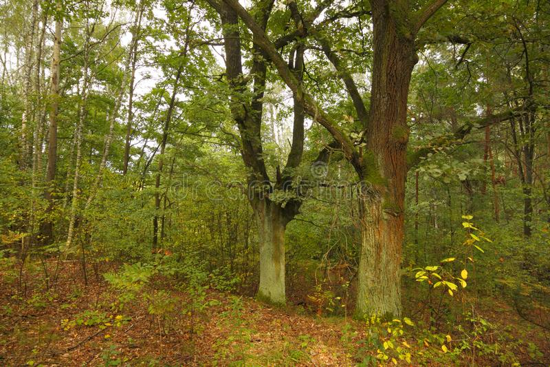 两棵橡木在森林里晚夏 免版税库存照片