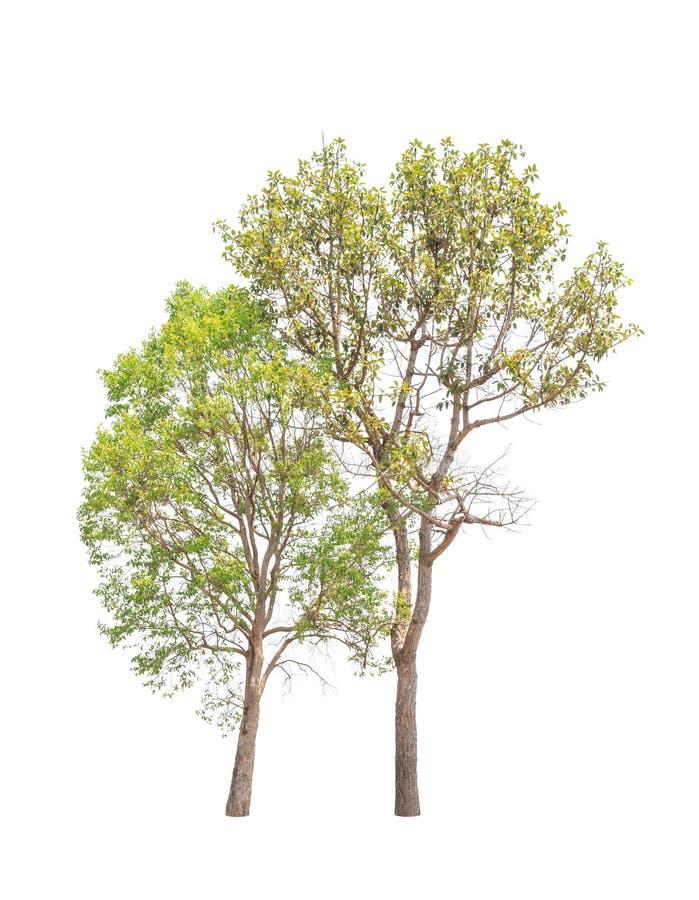 两棵热带树在泰国在白色背景隔绝了 免版税库存照片