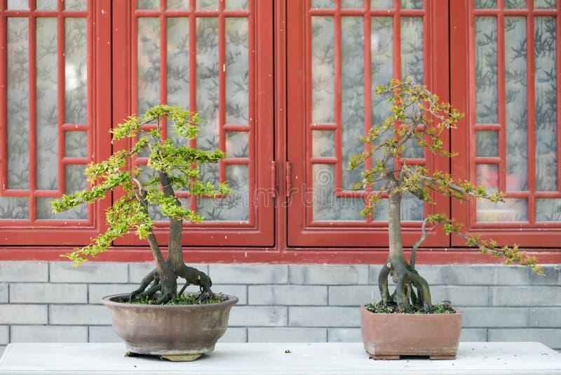 两棵盆景树对砖墙和红色窗口 免版税库存图片