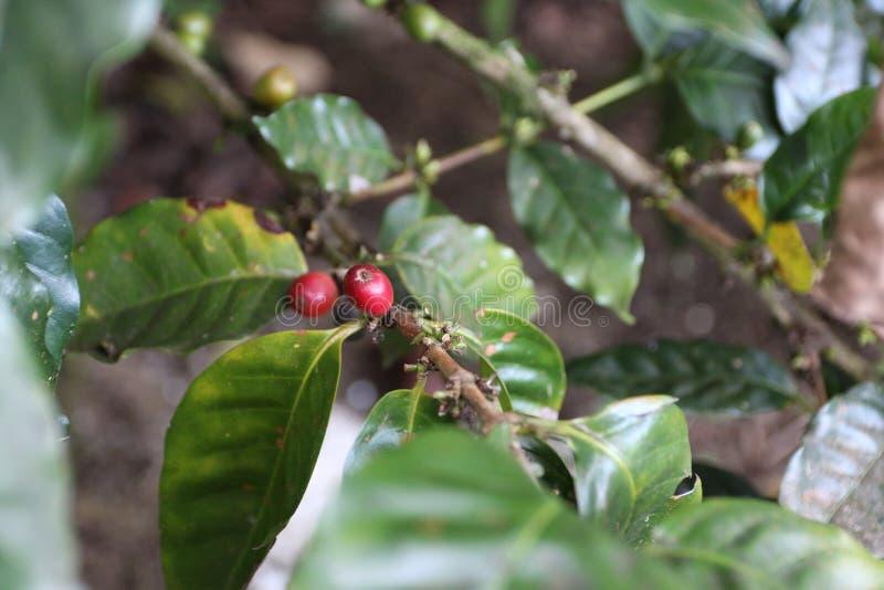 两棵红色阿拉伯咖啡咖啡樱桃 图库摄影