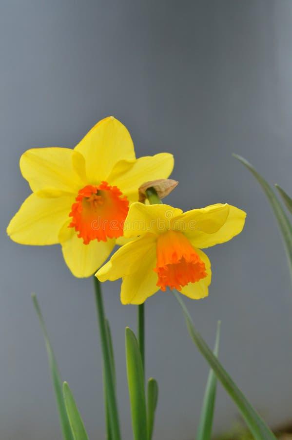 两棵美丽的水仙,黄水仙,自然特写镜头, 免版税图库摄影