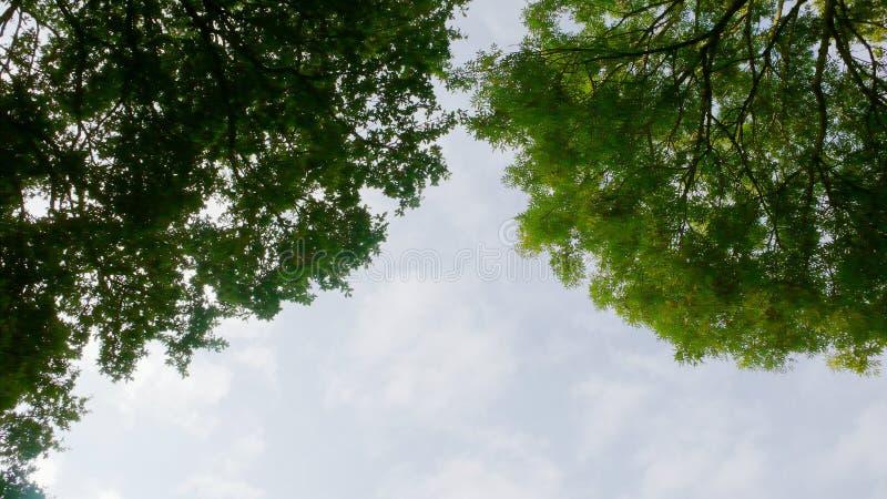 两棵非常高大的树木和一些天空 库存图片