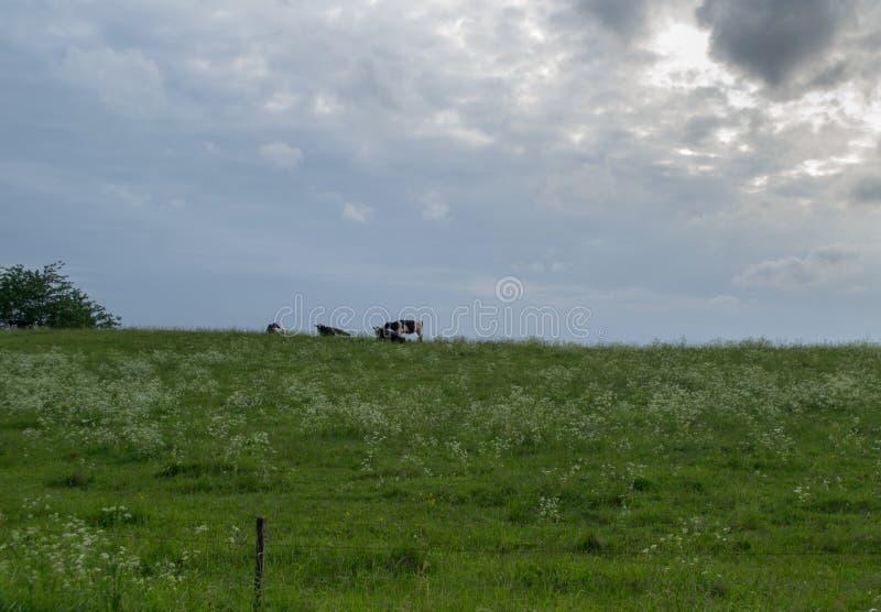 两母牛和自然 免版税图库摄影