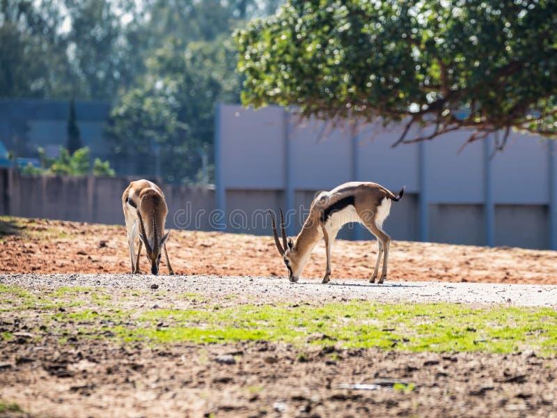 两汤姆生` s瞪羚Eudorcas thomsonii在徒步旅行队公园拉马干,以色列寻找在地面上的食物 免版税库存照片