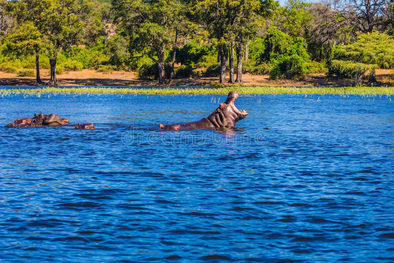 两河马在河 免版税图库摄影