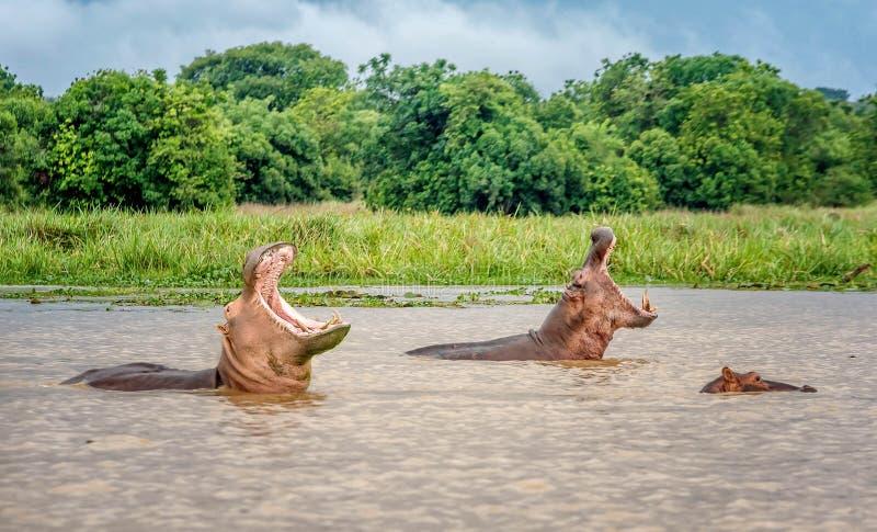 两河马在默奇森Falls中,乌干达水域  库存照片