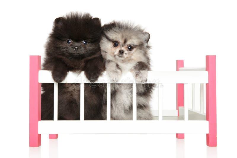 两波美丝毛狗在一个儿童s轻便小床坐白色背景 免版税库存图片