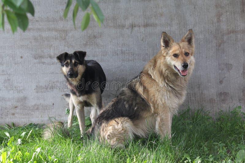 两流浪狗坐草坪 免版税库存图片