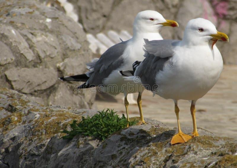 两海鸥 免版税库存图片